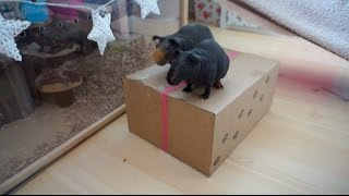 surprise pet package ft the skinny pigs