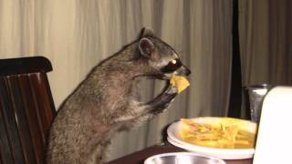 Raccoon Eating Nachos - Parry Gripp