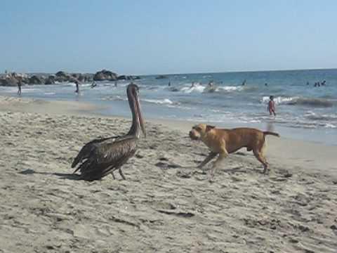 Pelican Eats A Dog