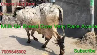 Baixar Pure Desi GIR Cow with Female sahiwal Calf क़ीमत सिर्फ़ 48,000/- Available at Chopra Dairy