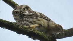 Little Owl, Richmond Park 13/02/19