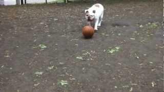 English Bulldog Playing Football / Soccer Vs. Doberman & Boxer