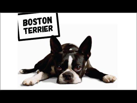 """Boston Terrier"" perro americano muy especial."