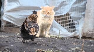 Chicken vs Cat  Pavlov Ryaba Chicken attacks Pooh cat Курочка Ряба атакует кота Пуха