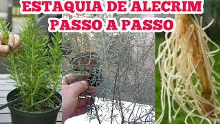 Técnica Infalível Para Estaquia de Alecrim e Os Incríveis Benefícios desta Planta