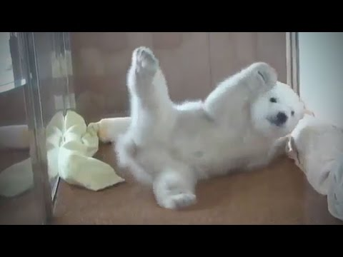 Cute Bear Cubs 🐻 Funny Baby Bears Playing [Funny Pets]