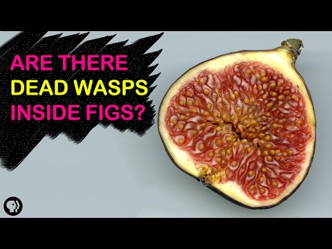 Video image: Are there dead wasps in figs?