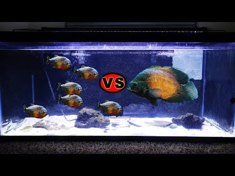 Will It Survive? OSCAR  Vs A PACK OF HUNGRY PIRANHAS!