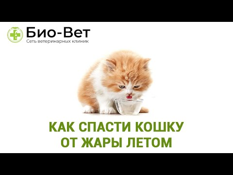 Как спасти кошку от жары летом. Советы ветеринара