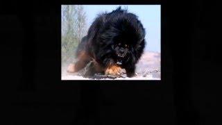 Фото десяти пород  Самых больших собак в мире
