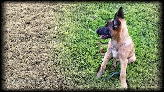 The Belgian Shepherd Malinois Hd - Puppy Test 009 - 2014 California, Usa - Not German Shepherd Dog
