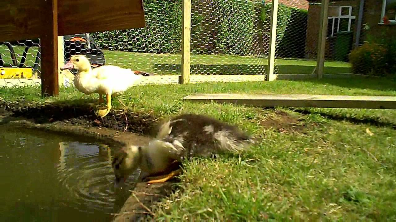 The duck house youtube for House duck