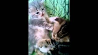 Продаю котят. Кошачьи нежности... Все в описании.