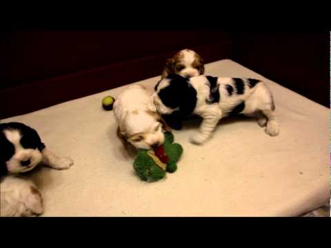 Cocker Spaniel Puppies 4 Weeks Old Youtube