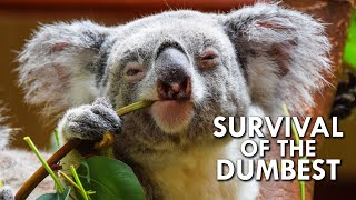 Koalas: When Stupidity is a Survival Strategy