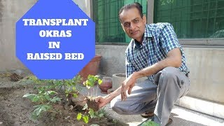 How to Transplant Bhindi | Okras in raised beds