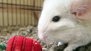 Chinchilla Strawberry