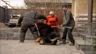 """Тибетские мастифы """"Наследие тибета"""" - проверка рабочих качеств"""