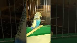 Попугай тяжело дышит и открывает клюв