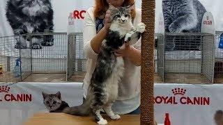 Ну Очень Красивый Котенок Мейн Кун - Няшный Котик | ПОРОДЫ КОШЕК