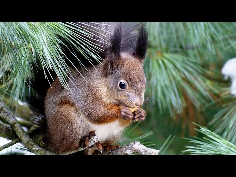 Белка|Какая бывает  окраска шерстки у белок?|Squirrel|What is the color of the coat in squirrels?