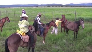 Une fois le bétail vacciné, il faut l'amener dans les pâturages Chihuahua Mexico Août  2010