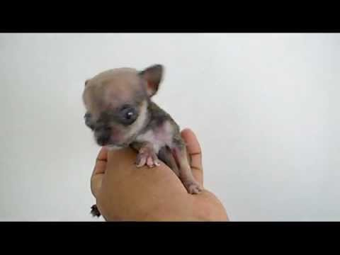 Smallest Cat In The World Guinness 2012 the world's smallest dog 2012 - micro tiny teacup chihuahua - youtube