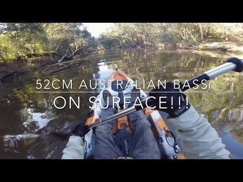 52CM Australian Bass Surface Fishing On Dragon Kayak. Kayak Fishing Bundaberg