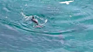 Dolphins playing-Black Sea-Bulgaria