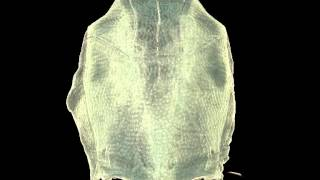 Placoderms (Armored Fish): Dominant Vertebrates of the Devonian Period: Supplemental Video 1