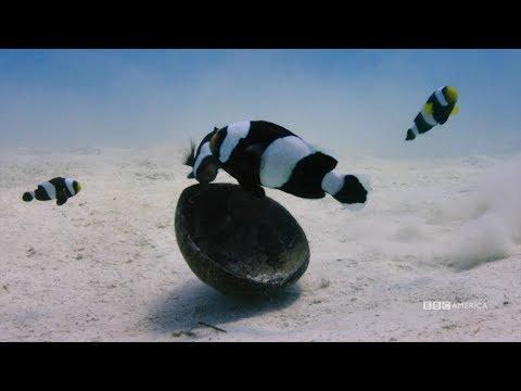 Clownfish Teamwork | Planet Earth: Blue Planet II | Saturdays @ 9/8c On BBC America