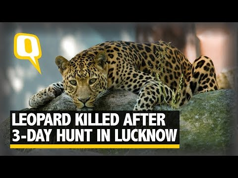 Leopard Killed After Three Day Hunt In Lucknow   The Quint