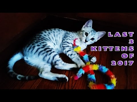 The Chirpy Cats Last 3 Kittens Available For Adoption 2017