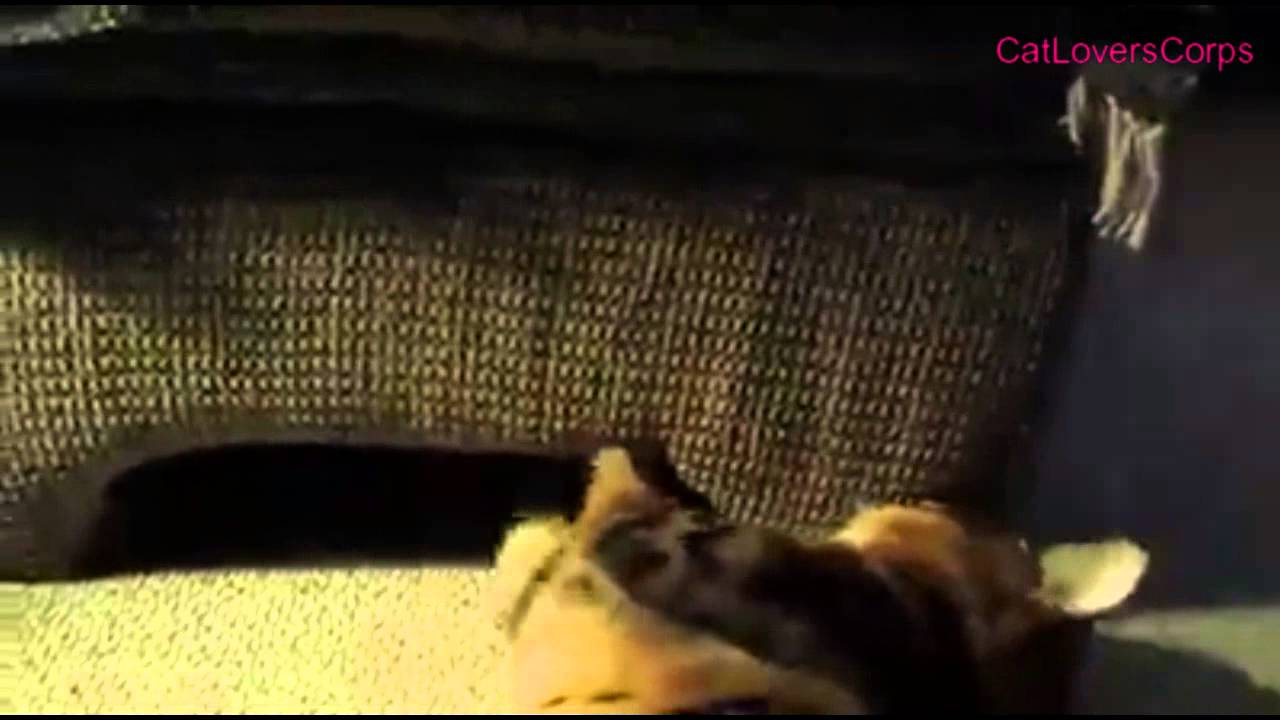 Funny Cat | Bengal Cat Attack Dog | Bengal Cat Fight - YouTube