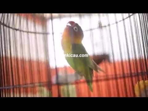Ini juga suara konslet lagi lovebird Kusumo di Blog Om Kicau