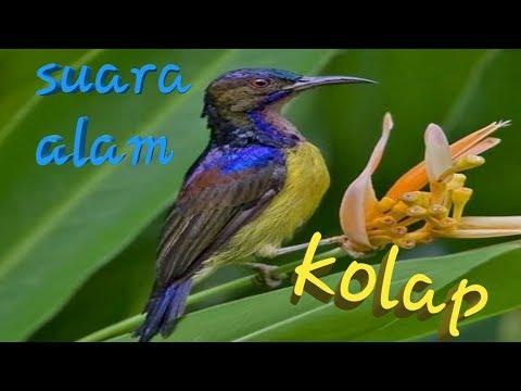 Kolibri kelapa (kolap) ngeriwik suara alam