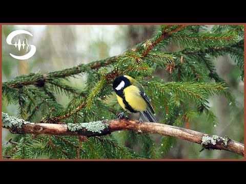 4 Stunden Vogelgezwitscher / Vogelstimmen im Wald
