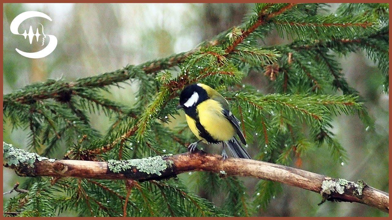 Lied mit vogelgezwitscher im hintergrund