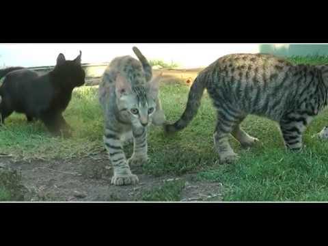 Exotic Kittens - Lynx Hybrid - Rare Amazing cats