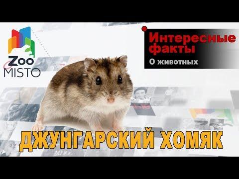 Джунгарский хомяк Интересные факты о виде | Вид джунгарский хомяк