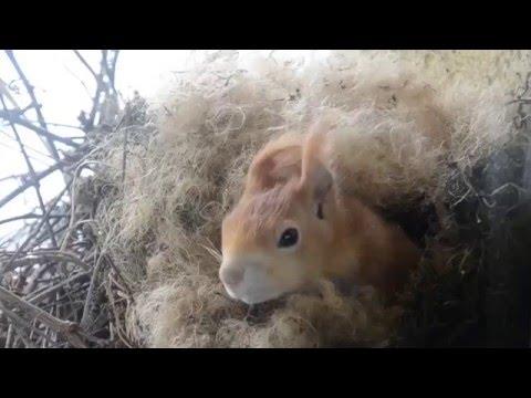 Как строит гнездо белка