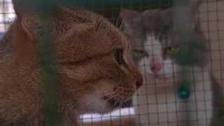Raungan kucing pengen kawin yang lucu