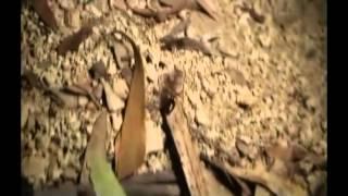 Bulldog Ant (genus Myrmecia)