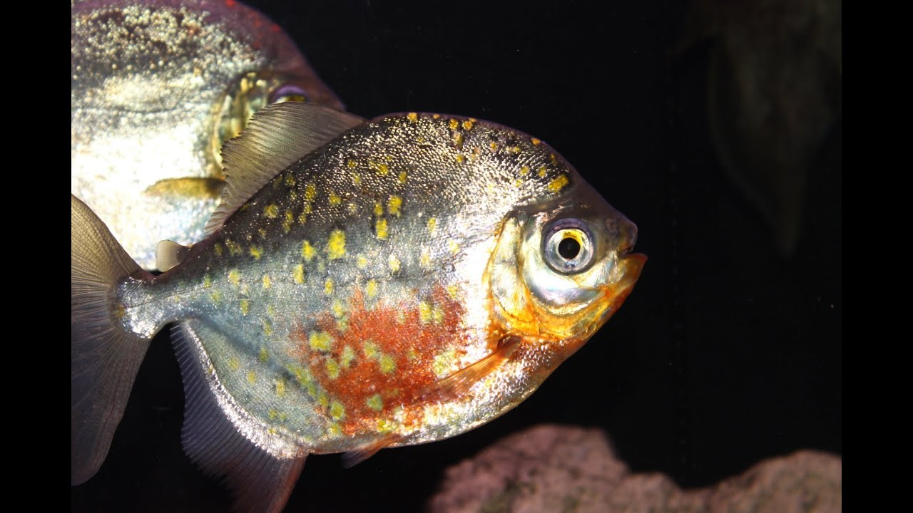 Giant Silver Dollar Fish Red Hook Myleus Rubripinnis Luna Youtube