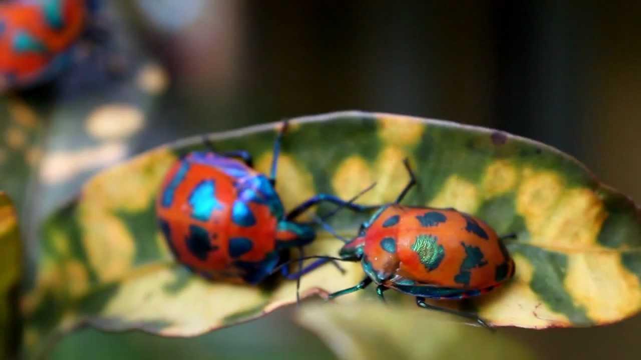 Christmas Beetles.Christmas Beetles Airlie Beach