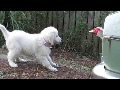 Maremma Sheepdog puppy playing with ducks