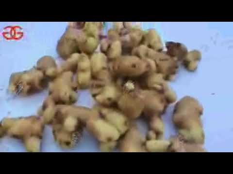 Automatic Ginger Washing Cutting Machine|Ginger Cleaning Machine|Ginger Slicer For Sale