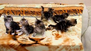 Помет N от 05.03.2018г. Сибирские котята