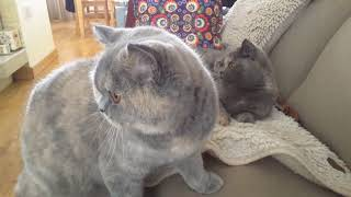 Fun British Shorthair cat. Our lazy girls * cattery Calmcat