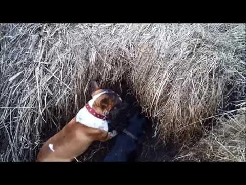 Bull terrier hunter 2